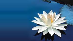 lotus cicegi